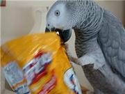 D.N.A African grey parrots for sale.